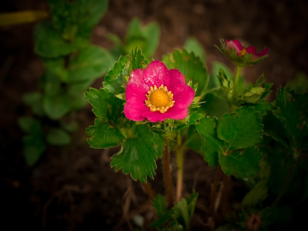 Fragole in fiore in giardino. sfondo estivo. primavera.