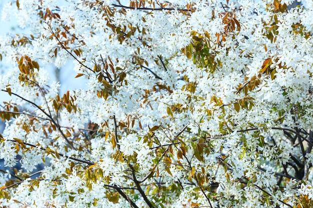 Albero in fiore con fiori bianchi in primavera