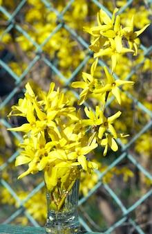 Ramoscello fiorito di albero con fiori gialli in tazza (con rete metallica su sfondo albero in fiore)