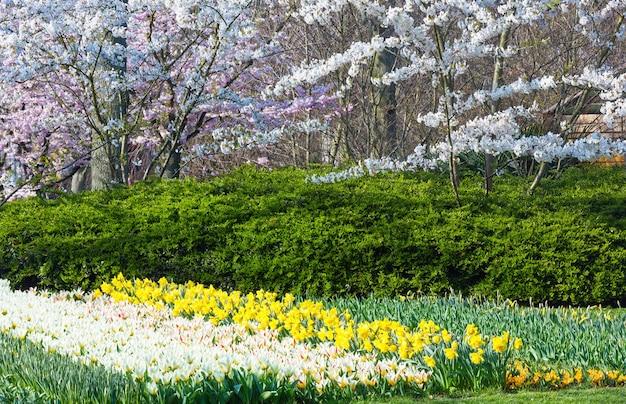 Alberi bianchi in fiore, tulipani bianchi e narcisi gialli nel parco di primavera