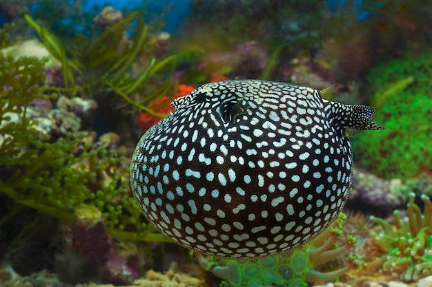 Soffiare pesci o diodon holocanthus sott'acqua in modalità difese naturali
