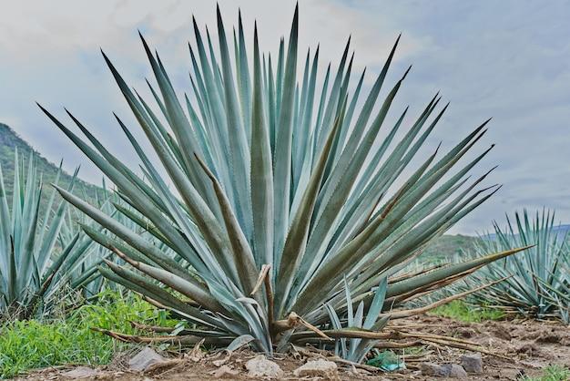 Piantagione di agave blu nel campo per fare tequila concept industria della tequila
