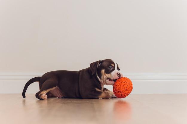 Cucciolo blu american bully che gioca palla mordace
