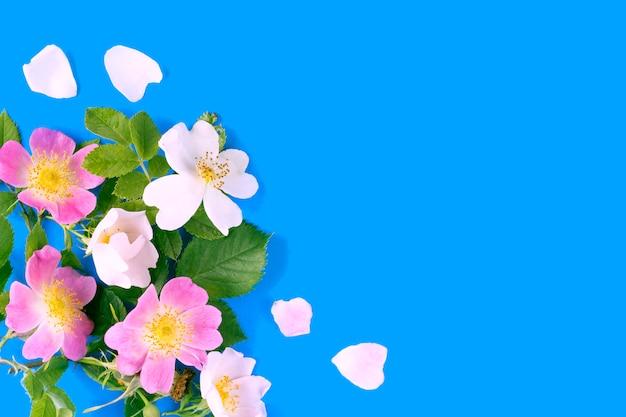 Su sfondo blu rosa, rosa canina anche conosciuta come la rosa canina