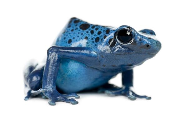 Blu e nero poison dart frog, dendrobates azureus, ritratto contro uno spazio bianco
