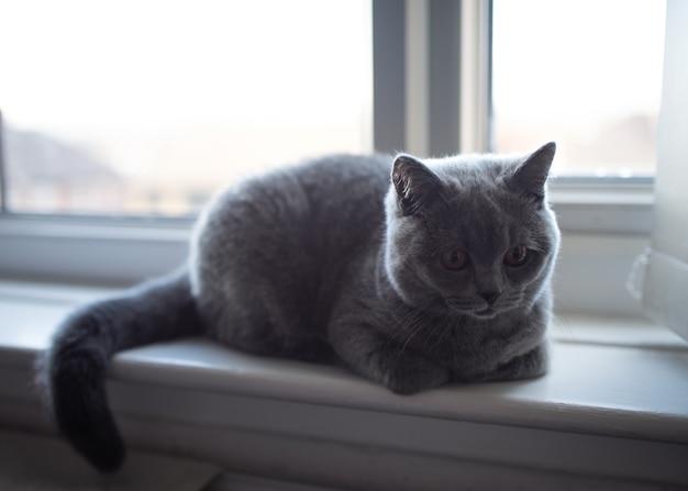 Blue british shorthair cat sdraiato sul davanzale di una finestra e guardando la telecamera
