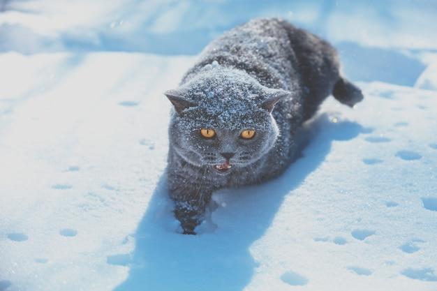 Blue british shorthair gatto che cammina all'aperto nella neve profonda in inverno