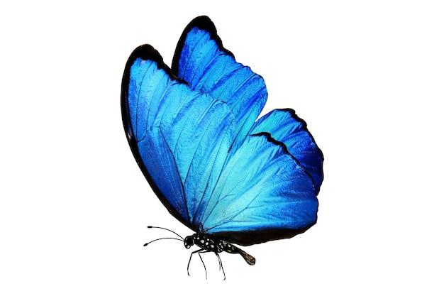 Farfalla blu con gambe e antenne isolate su bianco