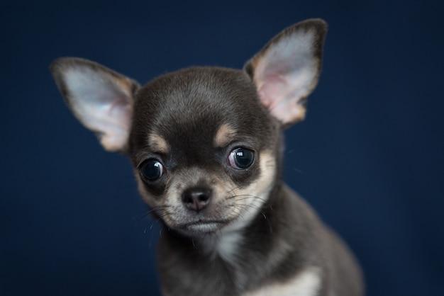 Cucciolo blu della chihuahua su un fondo blu classico.