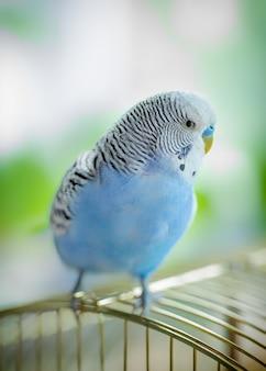 Pappagallo ondulato contento blu che si siede su una gabbia, primo piano.