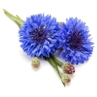 Ritaglio isolato di testa di fiore di fiordaliso blu erba o celibe