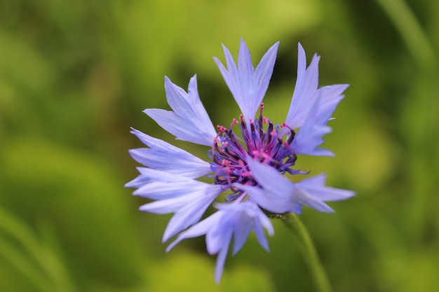 Fiordaliso blu sulla priorità bassa dell'erba di estate