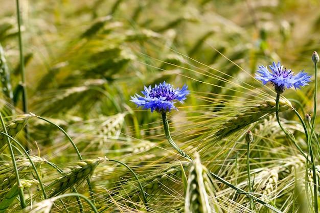 Fiordalisi blu che crescono in un campo agricolo, fiordalisi blu in estate