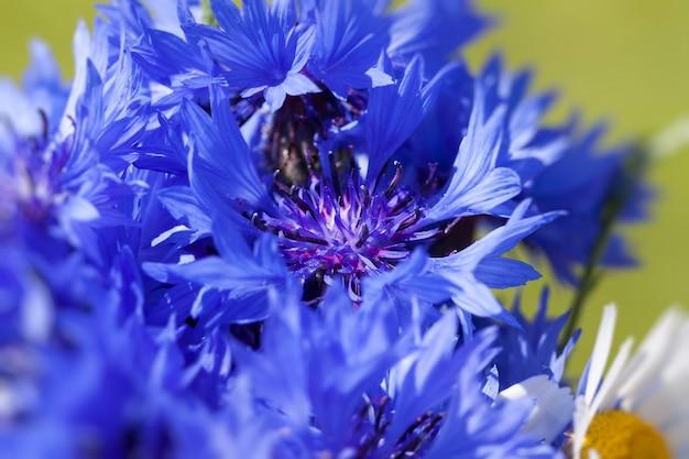 Fiordalisi blu in estate, fiori blu che crescono nei campi in estate