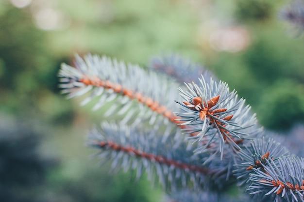 Abete europeo blu close up abete rami natura sfondo messa a fuoco selettiva immagine alta qualità...