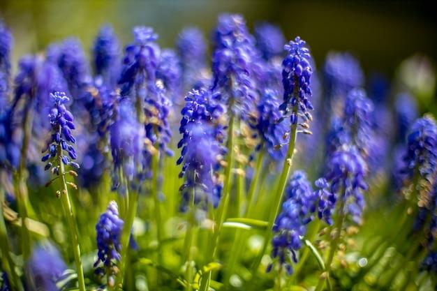 Fiori primaverili blu di fioritura dei giacinti dell'uva muscari. messa a fuoco selettiva. avvicinamento