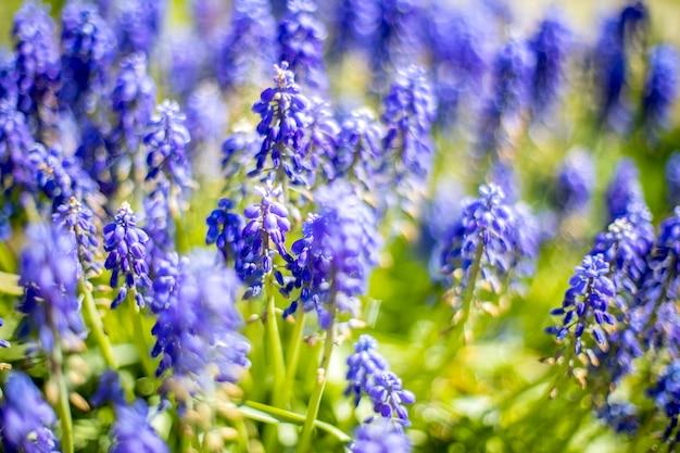 Fiori primaverili blu di fioritura dei giacinti dell'uva muscari. messa a fuoco selettiva