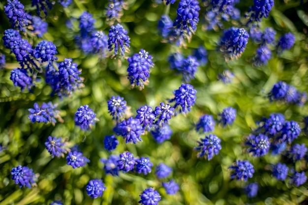 Blu fioritura uva giacinti muscari fiori primaverili vista dall'alto