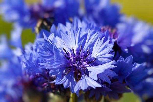 Fiori blu che crescono nei campi d'estate, fiordalisi blu d'estate