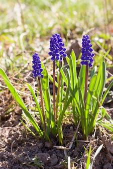 Fiori blu in primavera