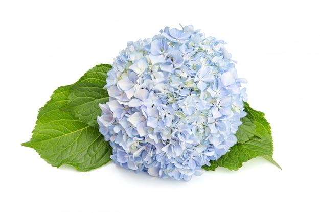 Fiore e foglie freschi blu dell'ortensia isolati