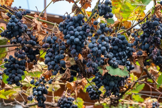 Uva blu in giardino, vendemmia in cantina, frutta. kakheti.