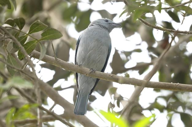 Tanager grigio blu