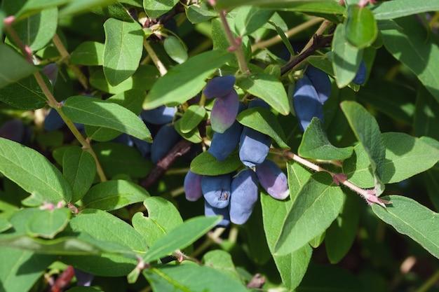 Bacche di caprifoglio blu che crescono su un cespuglio nel giardino estivo summer