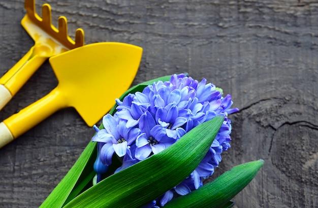 Giacinto blu e strumenti di giardinaggio sulla vecchia tavola di legno fiore della molla del giacinto concetto di giardinaggio della molla fuoco selettivo.