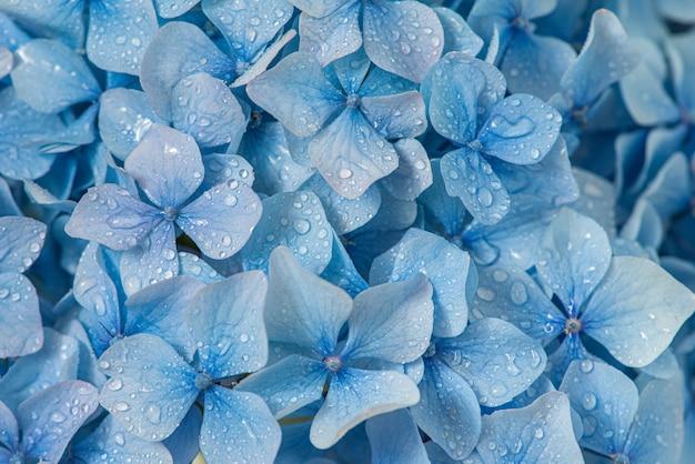 Fiori di ortensie blu con gocce d'acqua