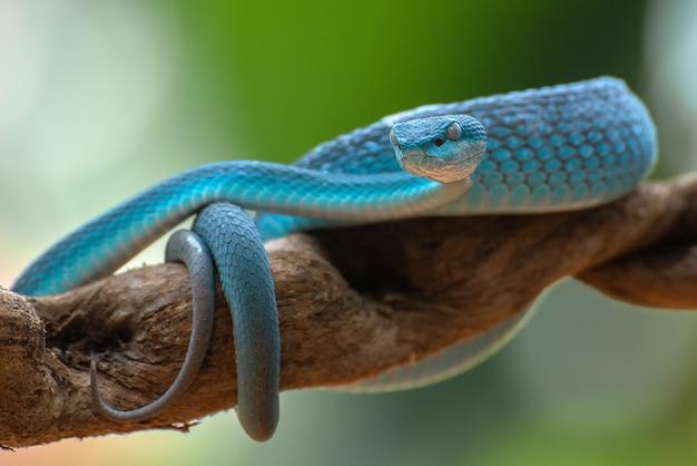 Blue insularis pit viper closeup, serpente velenoso