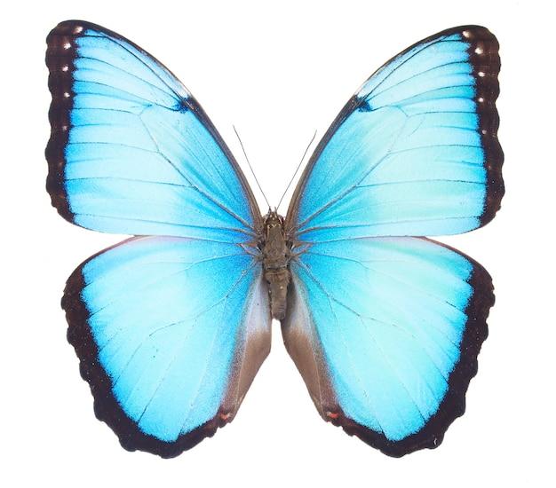 Farfalla blu morfo isolata su bianco