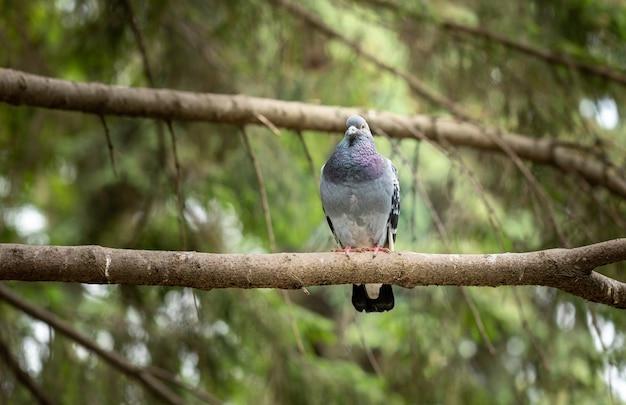 Sedute di piccione blu sul ramo di abete e guardando dritto davanti a sé. bellezza della natura. copia spazio per il testo.
