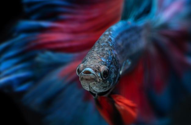 Pesce betta blu e rosso o pesce combattente siamese