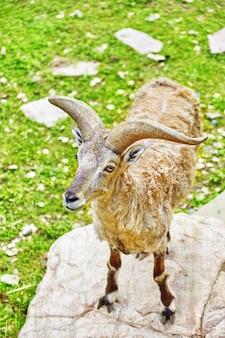 Pecore blu nel loro habitat naturale allo stato brado.