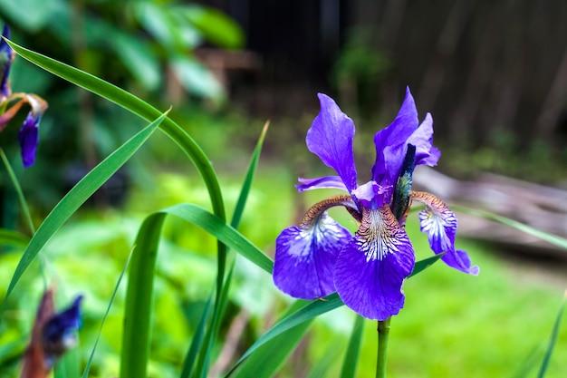 Primo piano blu del fiore dell'iride siberiana sul fondo del giardino.