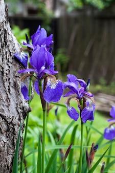 Primo piano blu del fiore dell'iride siberiana sul giardino.