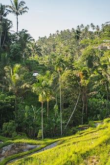 Cielo blu sopra piante tropicali verdi sull'isola esotica, il sole splende sulle palme
