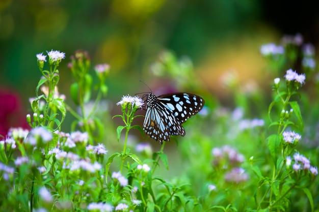 Farfalla euforbia maculata blu o danainae o farfalla euforbia che si nutre di piante da fiore