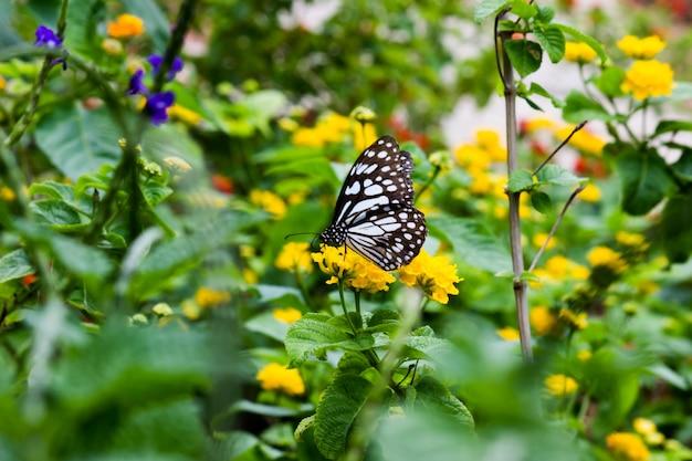 Farfalla maculata blu o danainae o farfalla euforbia che si nutre delle piante da fiore