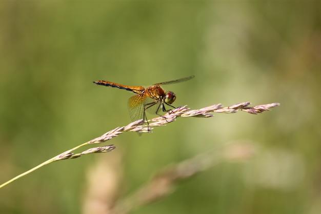 Damselfly dalla coda blu o ischnura elegans dalla coda blu comune, maschio