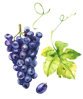 Uva saporita blu. schizzo ad acquerello con foglie e bacche