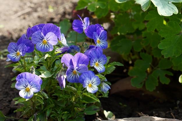Brunch di fioritura dei fiori di vola blu in giardino
