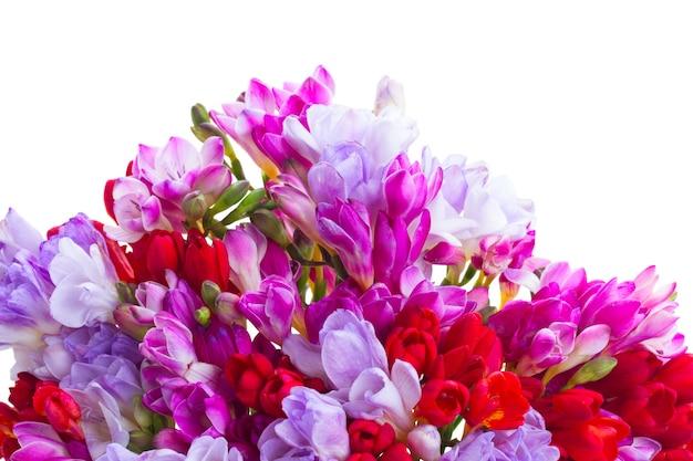 Fiori di fresia blu, viola e rossi isolati su bianco