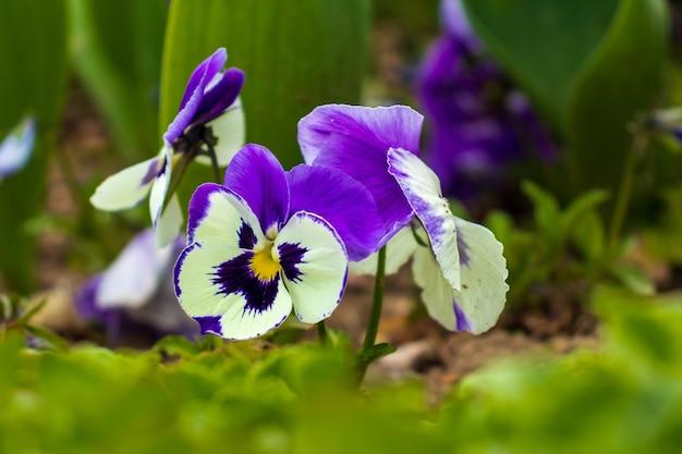 Blue with white flower viole del pensiero primo piano del fiore colorato della viola del pensiero
