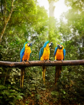 Ara blu-e-gialla ara ararauna nella foresta