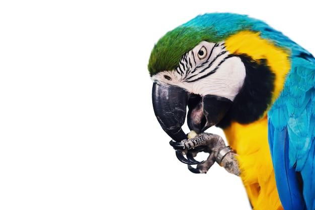 Ara blu e gialla - ara che mangia una noce, isolata su fondo bianco, ritaglio.