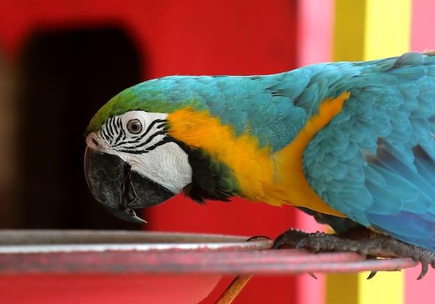 Alimentazione degli uccelli ara blu e gialla