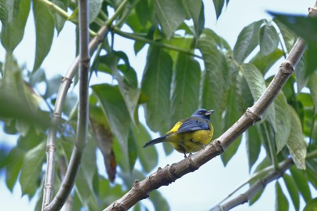 Il tanager blu e giallo si è appollaiato su un ramo del giardino