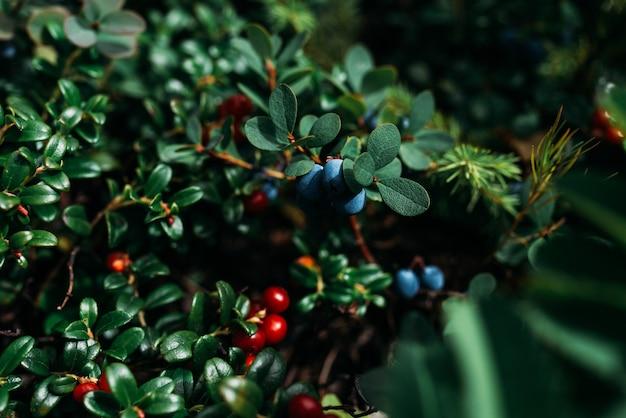 Mirtilli e mirtilli rossi su un cespuglio verde, fotografia macro. frutti di bosco, macro. frutti di bosco selvatici su uno sfondo verde nella foresta.